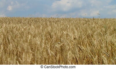 Wheat Field Against Sky