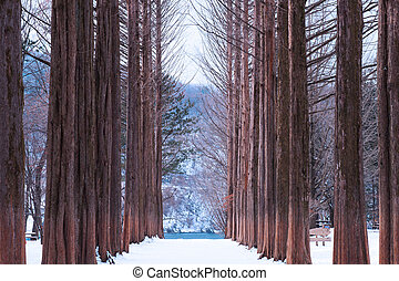 Nami island,Row of pine trees.