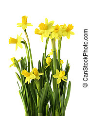 yellow narcissus - Yellow narciss bunch with fresh green...