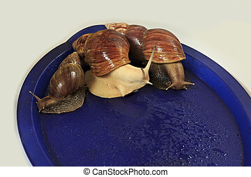 Large grape snail on blue tray - Large grape snail on a blue...
