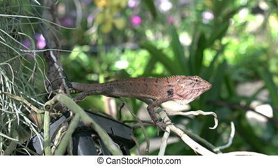 Reptile on a tree on Phuket island. - Reptile on a tree in a...