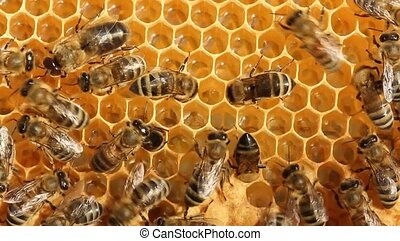 Work bees in hive - Bees convert nectar into honey and care...