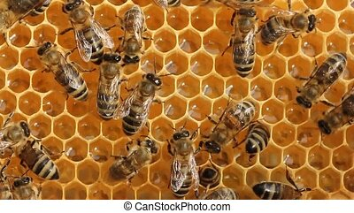 Work bees in hive - Bees convert nectar into honey.