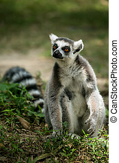 Ring- tailed Lemur sit on the ground
