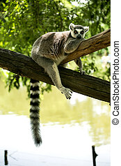 Ring- tailed Lemur sit on the tree