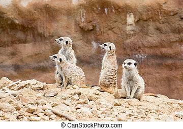 meerkat or suricate - family of meerkat or suricate watching...