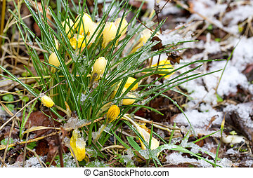 Yellow Crocuses in snow Spring background