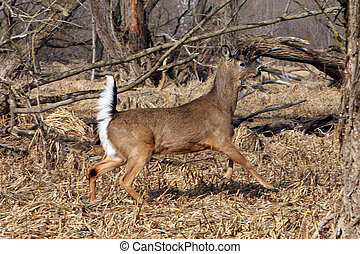 White-tail Deer Buck In Marsh Tail Up