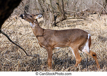 White-tail Deer Young Buck Feeding On Buds