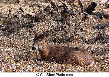 White-tail Deer Young Buck Sleeping In Marsh In Morning Sun