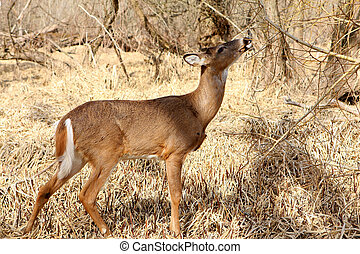 White-tail Deer Young Buck Feeding In Marsh