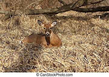 White-tail Deer Young Buck In Morning Sun
