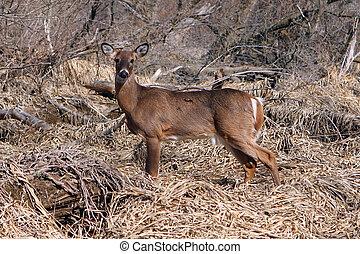 White-tail Deer Buck Standing In Marsh In Morning Sun