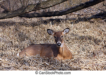 White-tail Deer Buck In Marsh In Morning Sun