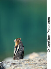 Banff National Park - Chipmunk in Banff national park in...