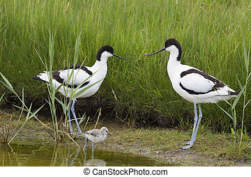 Pied Avocets with baby chick - Pied avocets in spring with...