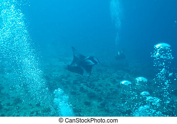 manta ray in Indian ocean - manta ray in deep Indian ocean,...