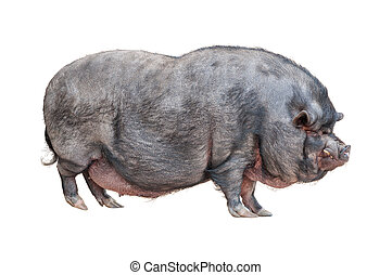 Vietnamese Pot-bellied pig cutout - Vietnamese Pot-bellied...