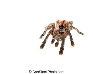 Spider - Tarantula spider isolated on white background