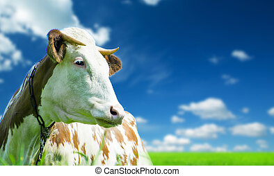 Funny cow on a green meadow - Funny cow on a green summer...