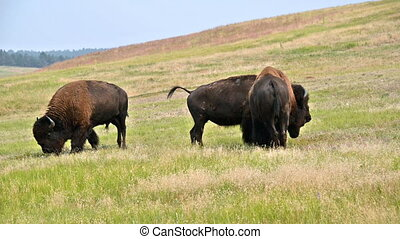 Buffalo Wandering Around - View of bison in Custer State...
