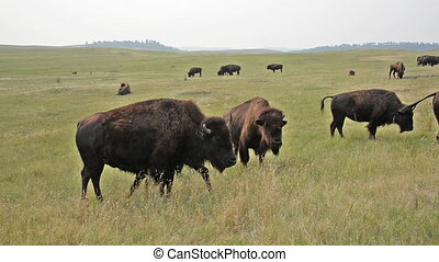 Herd of Buffalo in Custer State Park in South Dakota