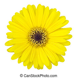 yellow gerbera flower isolated on white with clipping path