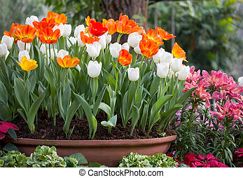 colorful tulips in a flower pot