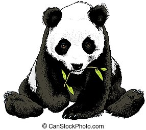 panda bear is eating bamboo isolated on the white background