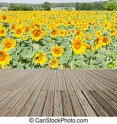 Sunflowers field and wooden planks - Wooden planks and...
