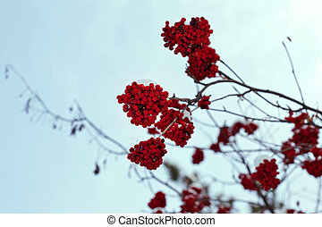 rowanberry on the tree, sky background