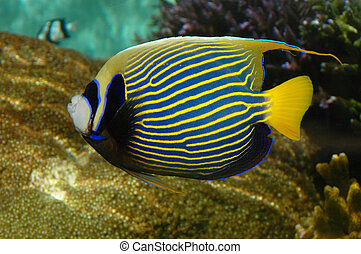 A bright tropical fish with stripes (Emperor Angelfish -...