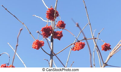 Several bunches of red viburnum on a background of blue sky