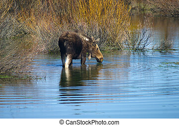 Grand Tetons Moose - Moose in water in Grand Tetons National...