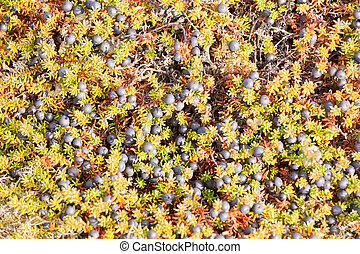 Black Crowberry Empetrum nigrum floral background - Black...