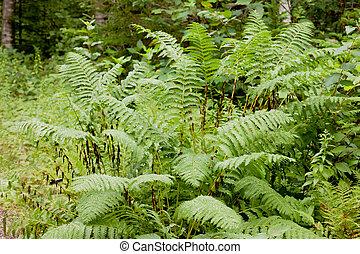 Green plant Interrupted Fern Osmunda claytoniana - Green...
