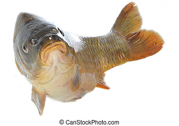 Carp in jump - Isolated carp in jump on white background