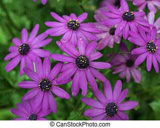Purple Osteospermum flower - but commonly known as the...