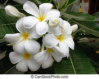 White Frangipani/Plumeria