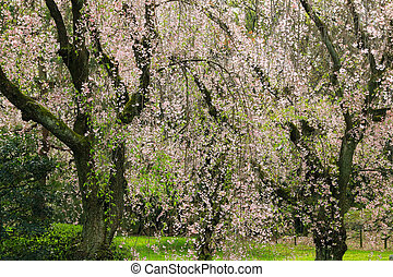 Weeping Japanese Sakura cherry blossom trees with pink...