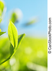 Tea Leaves - Close up tea leaves with morning sunlight,...