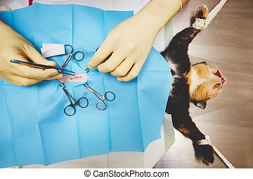 Cat in veterinary hospital - Surgical operation of cat in...