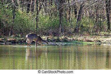 female deer wading - female deer standing in the shallow...