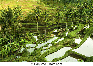 Terrace rice fields in morning sunrise, Ubud, Bali,...