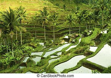 terraço, arroz, campos