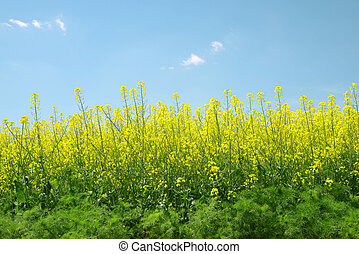rapeseed field - Spring landscape with rapeseed field