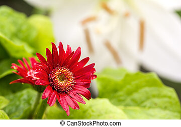African daisy flower - Bright red african daisy flower in...