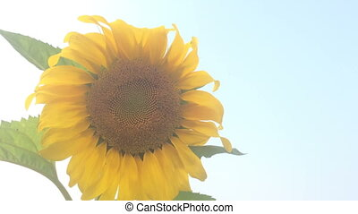 Sunflower with bees finding the pollens