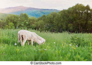 Two sheep grazing on meadow, green grass and trees - Two...