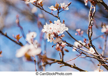 Blooming tree branches with white flowers, blue sky....